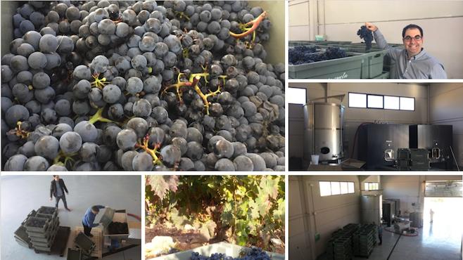 Uvas y elaboración de OSMO D.O.Ca. OSMO 2050