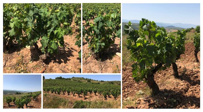 Viñedo de Rioja de Tempranillo. OSMO Crianza y OSMO Reserva. OSMO 2050.